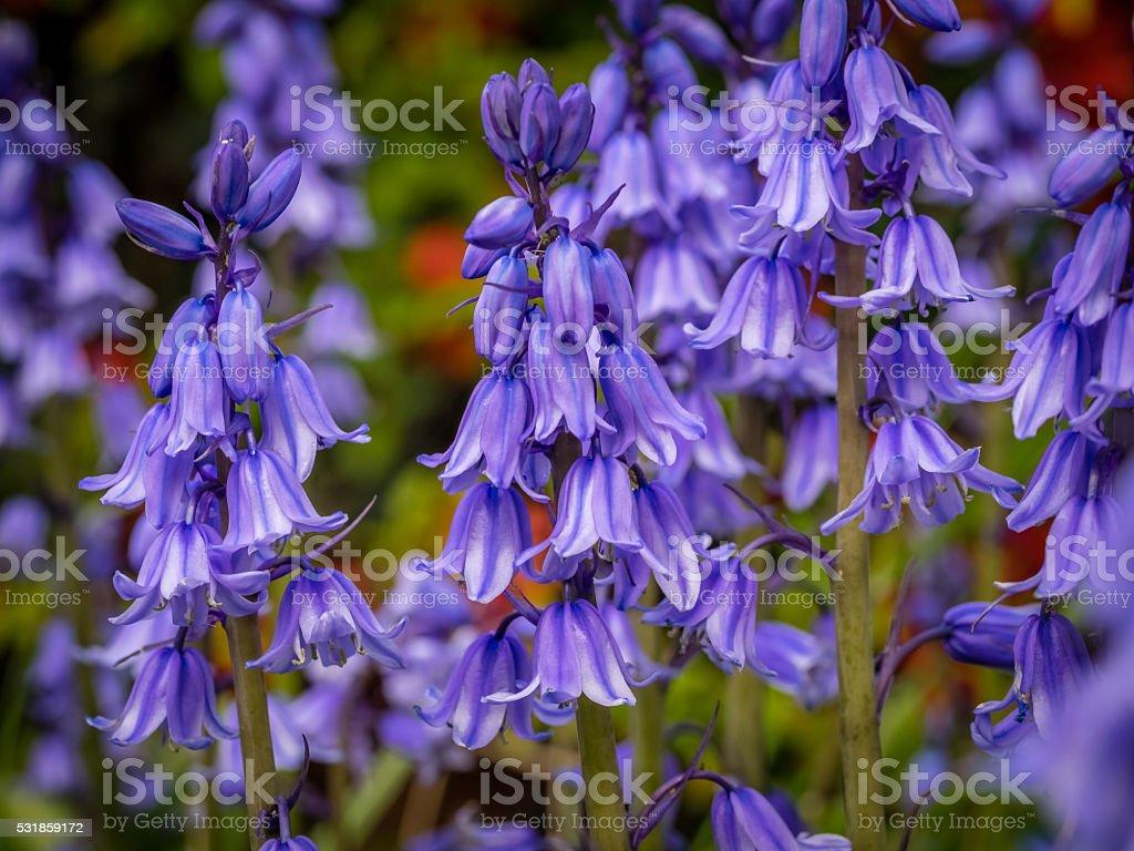 Campanula rapunculoides flowers stock photo