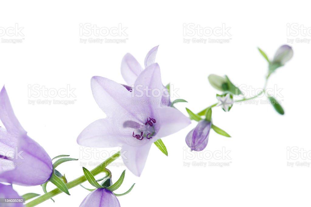 Campanula rotundifolia - Little bluebell royalty-free stock photo