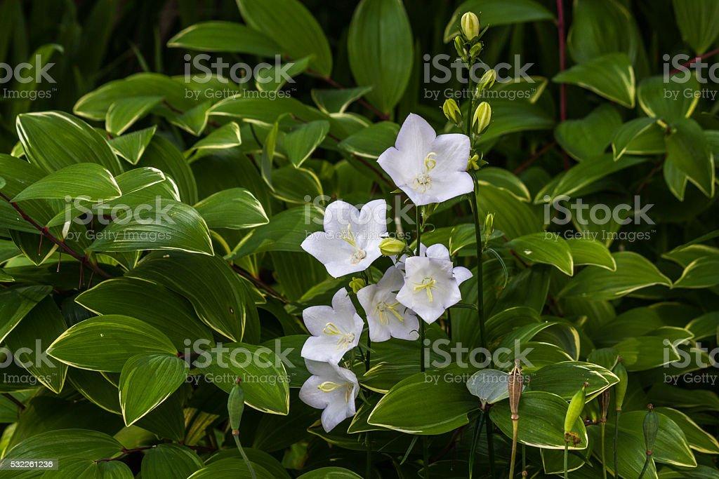 Campanulas Carpatica Alba white, as a  background stock photo