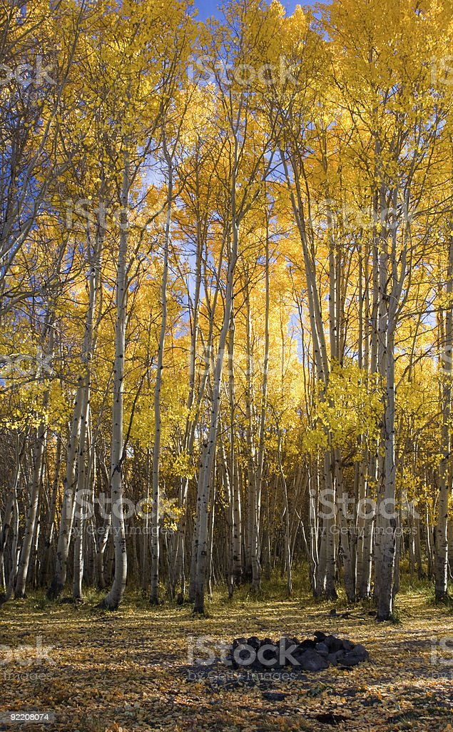 Campfire circle in an autumn aspen grove royalty-free stock photo