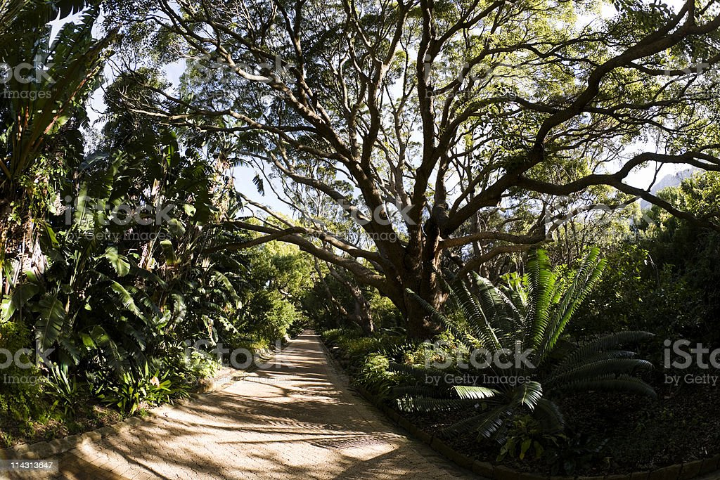 Camphor Avenue, Kirstenbosch stock photo