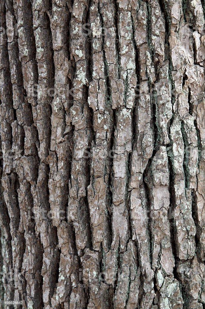 camphor tree bark stock photo