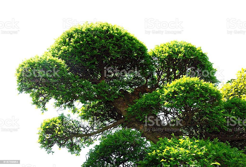Camphor tree canopy isolated white stock photo