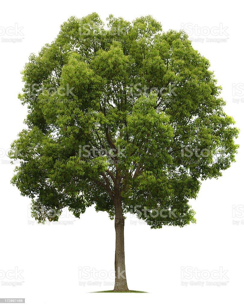 Camphor Tree royalty-free stock photo