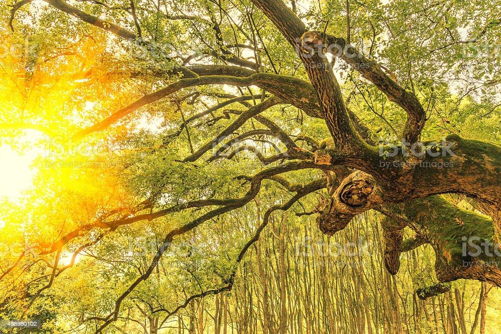 Camphor tree stock photo