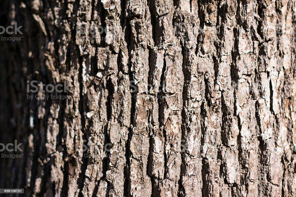 Camphor tree skin stock photo