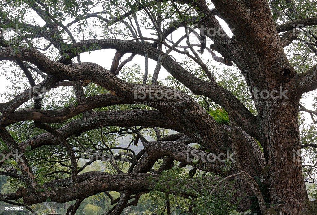 Camphor trees in macro stock photo