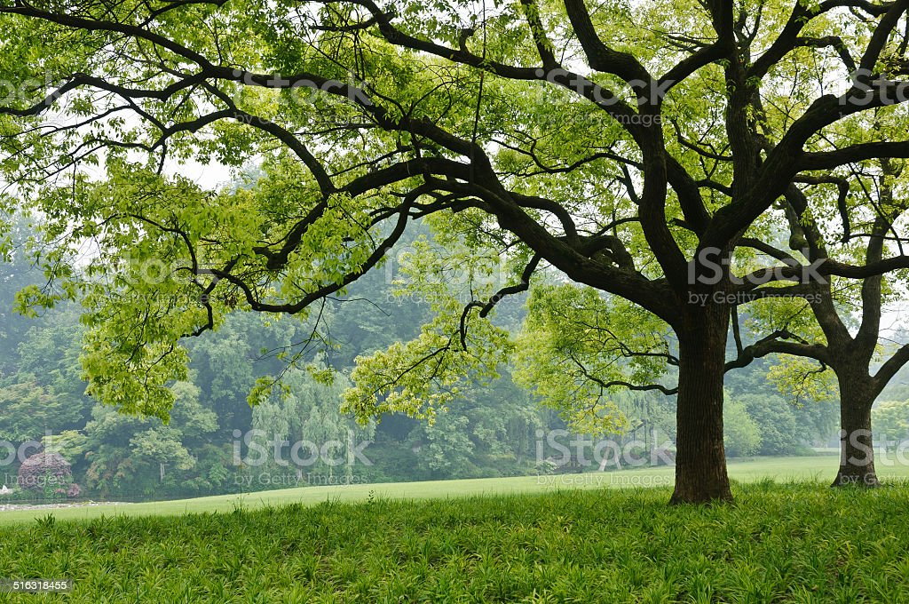 camphor trees in the park stock photo