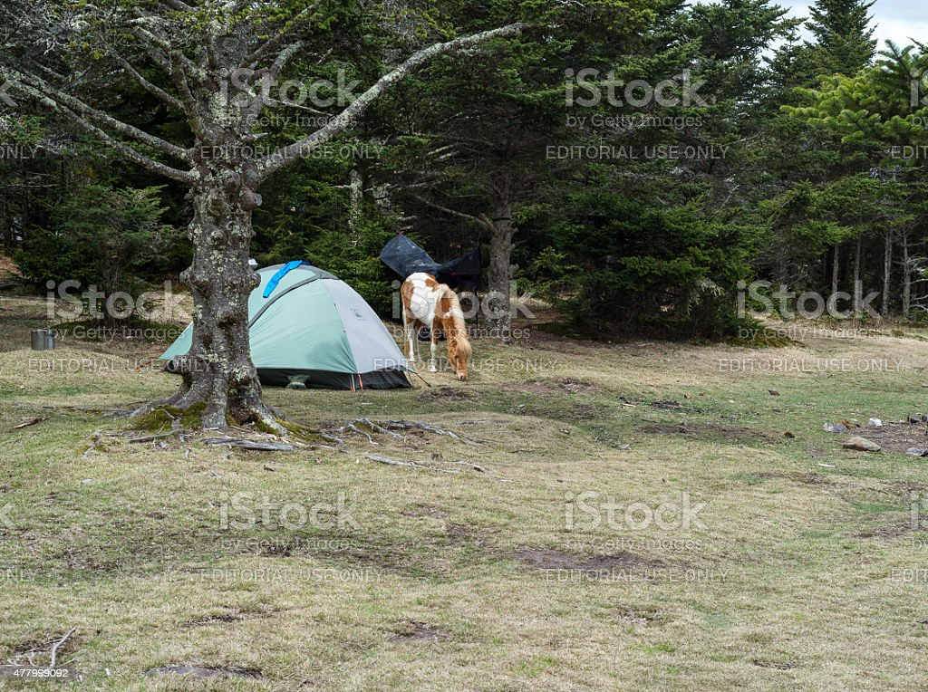 Camping with ponies stock photo