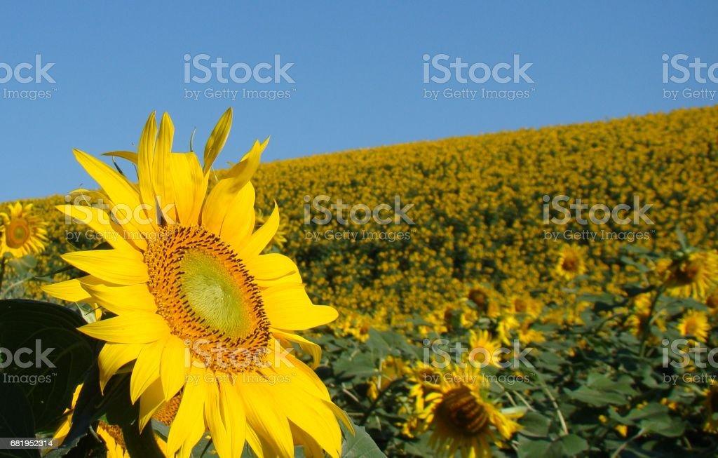 campo di girasoli stock photo