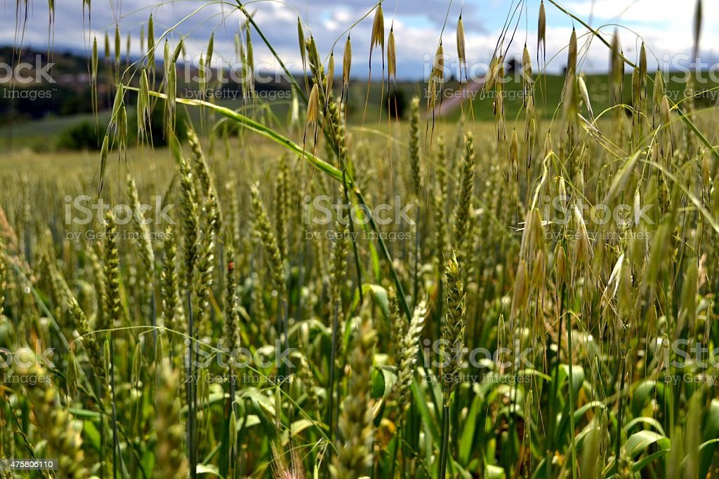 Campo  di grano nell'Italia del sud stock photo