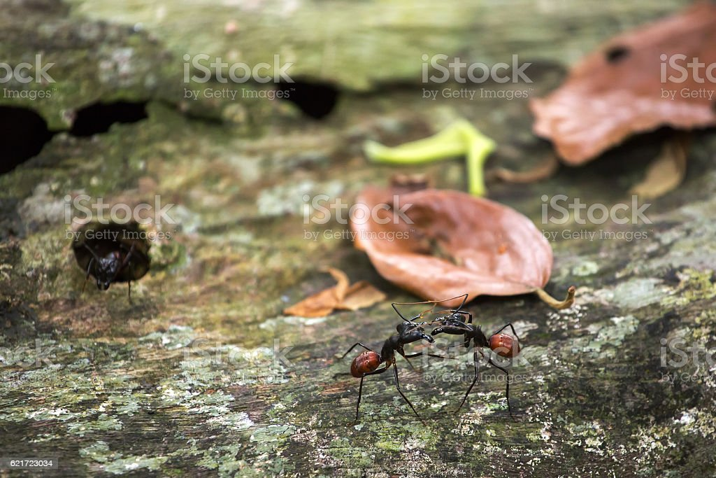 Camponotus gigas or giant forest ant stock photo