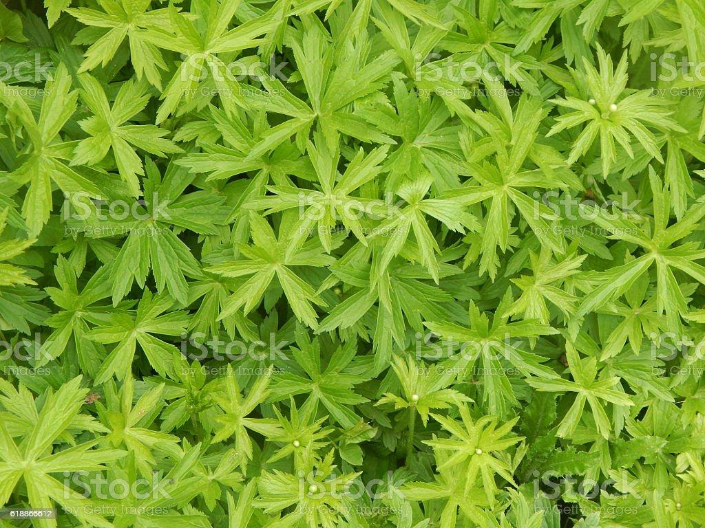 Canada Anemone Leaves stock photo