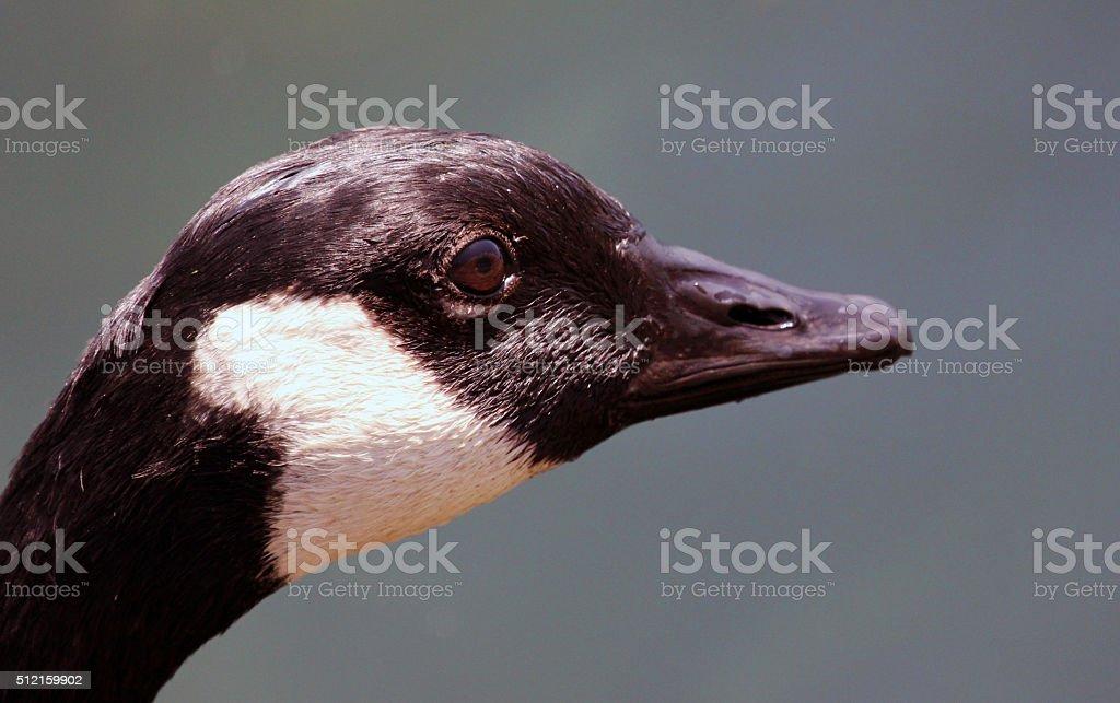 Canada: Canada Goose stock photo
