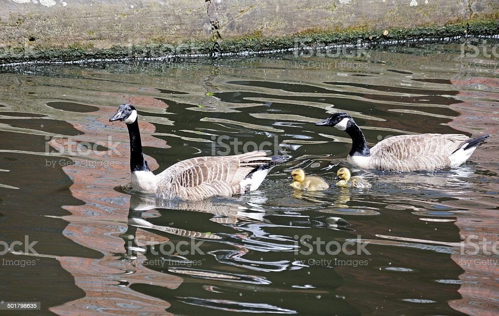 Canada geese and goslings. stock photo