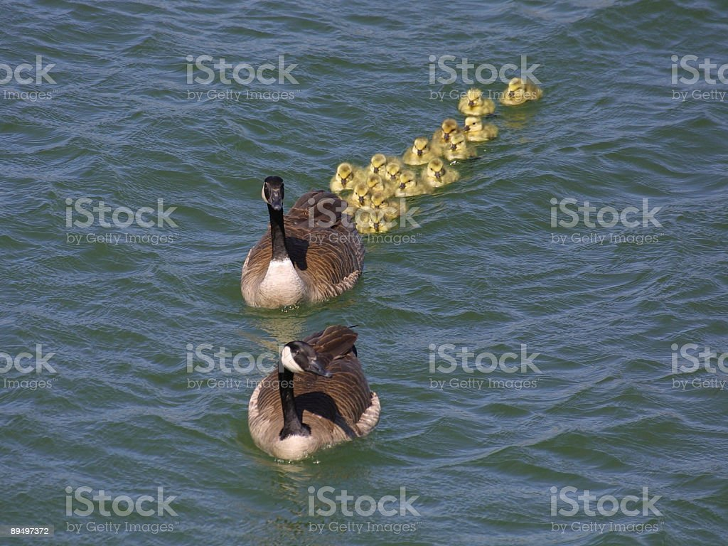 Canada Geese and Goslings royalty-free stock photo