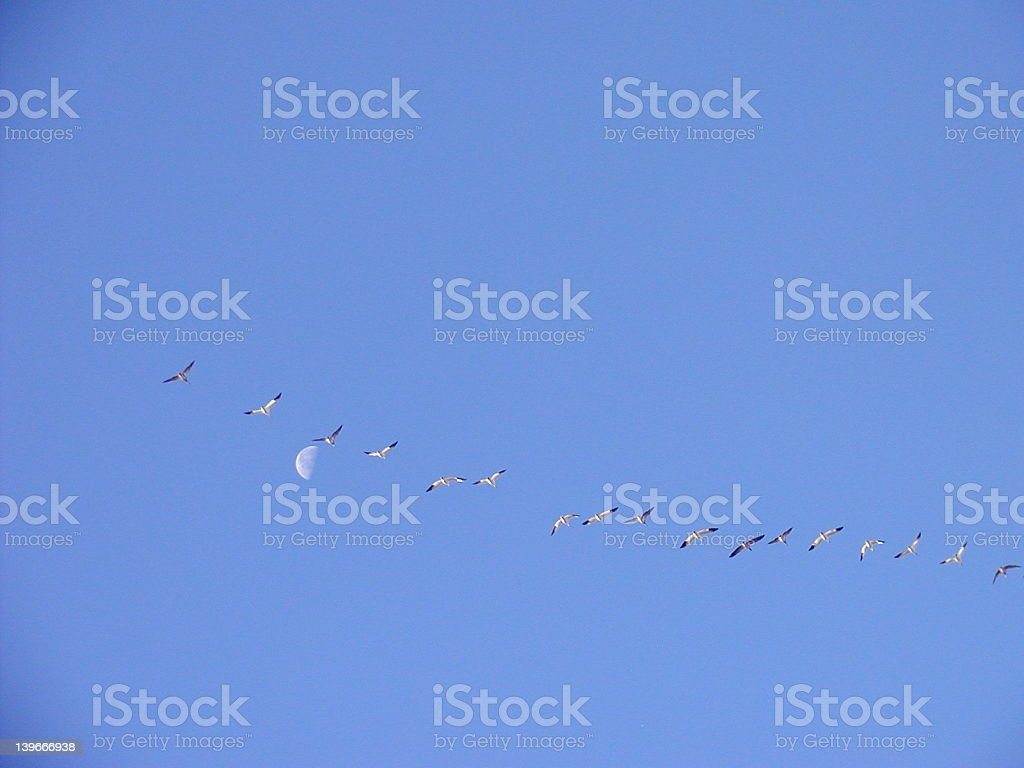 Canada Geese and Moon stock photo