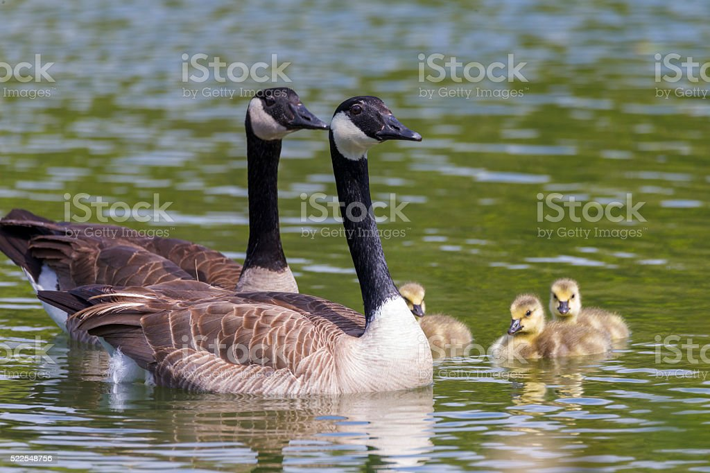 Canada geese and their baby at Golden Gate Park stock photo
