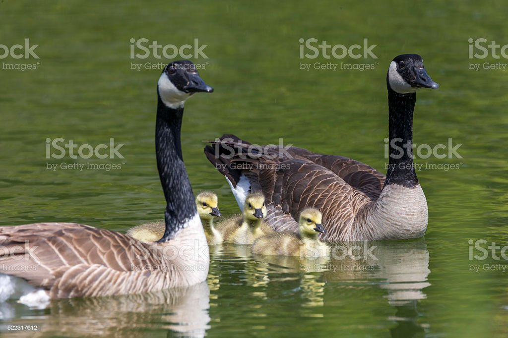 Canada geese and their babys at Golden Gate Park stock photo