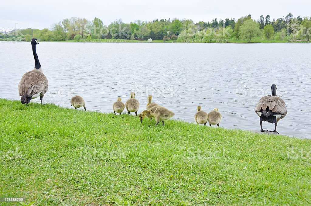 Canada Geese Family by the Rideau Canal stock photo