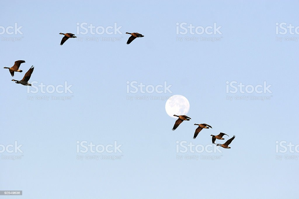 Canada Geese Fly South stock photo