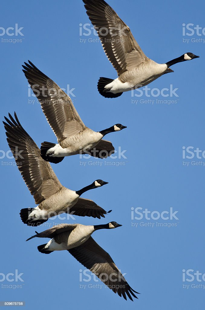 Canada Geese Flying in a Blue Sky stock photo