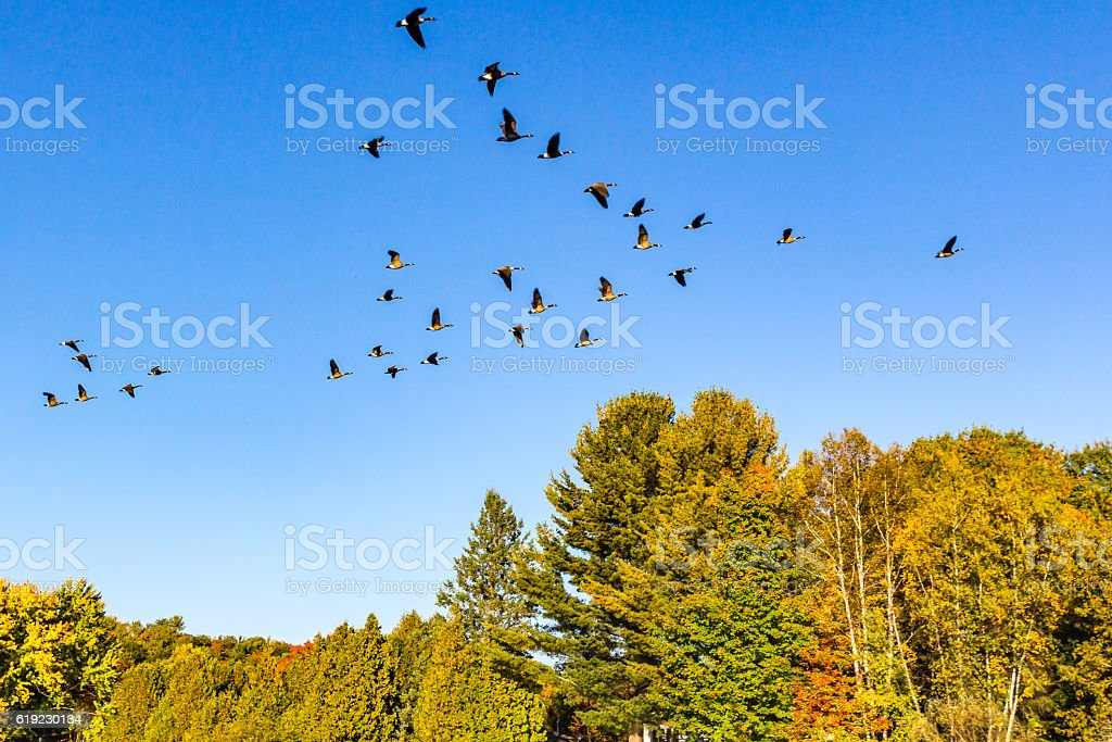 Canada geese flying in v-shape formation at fall stock photo