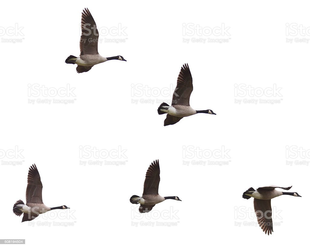 Canada Geese Flying on a White Background stock photo
