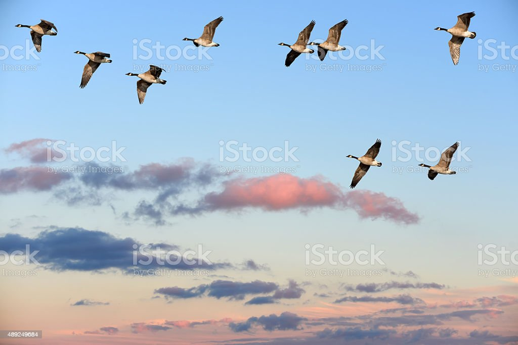 Canada Geese flying over a sunset sky stock photo
