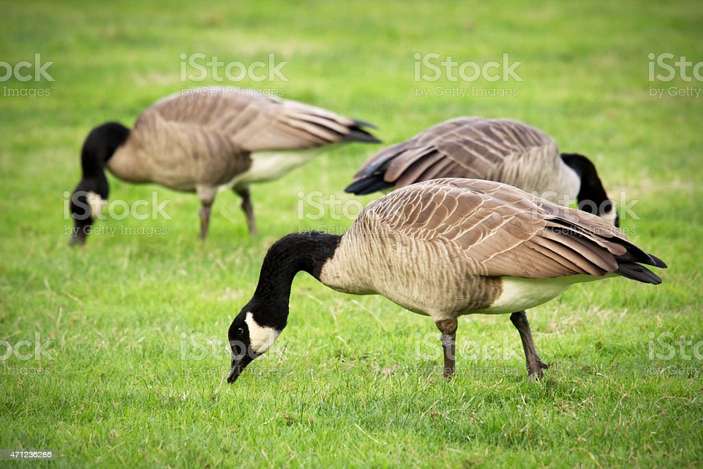 Canada Geese Grazing stock photo