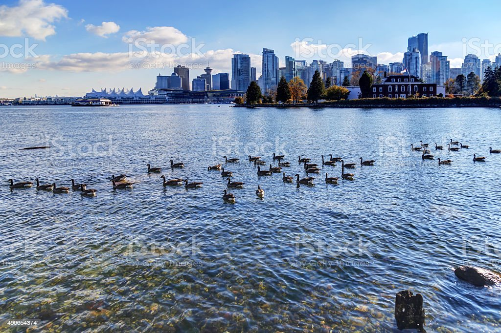 Canada geese in the sea water stock photo