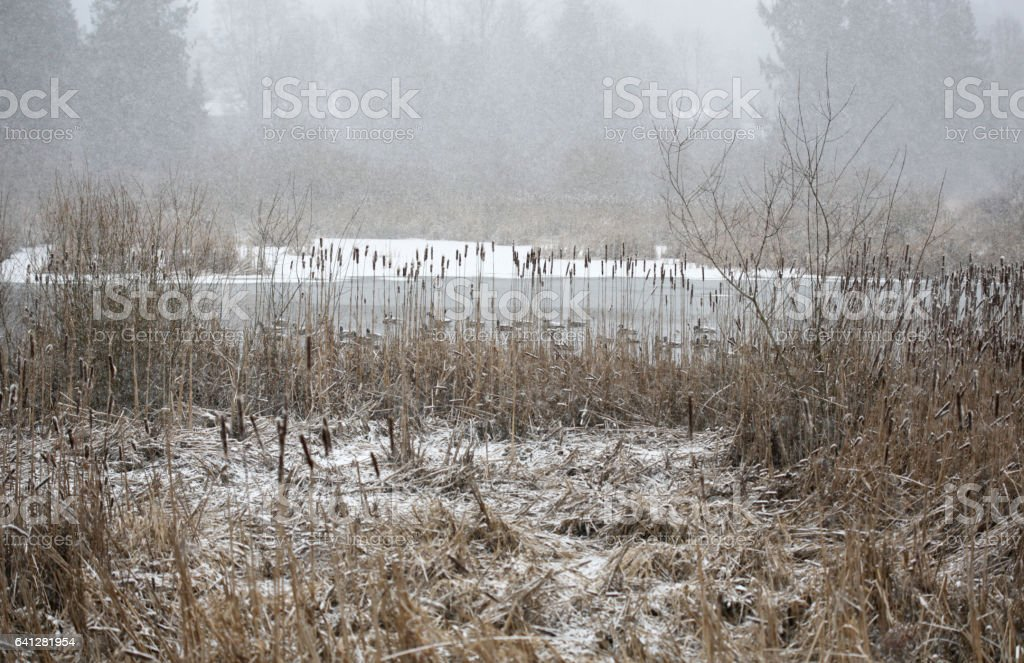 Canada Geese in the Wetlands: Snow in Fraser Valley, Canada stock photo