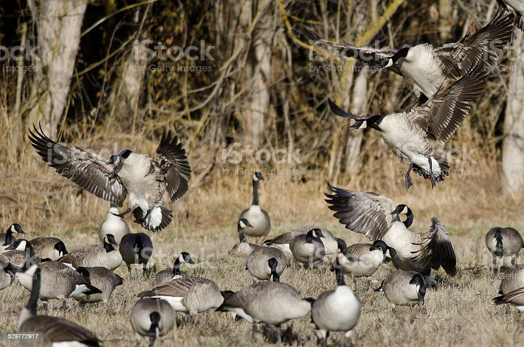 Canada Geese Landing in an Autumn Field stock photo