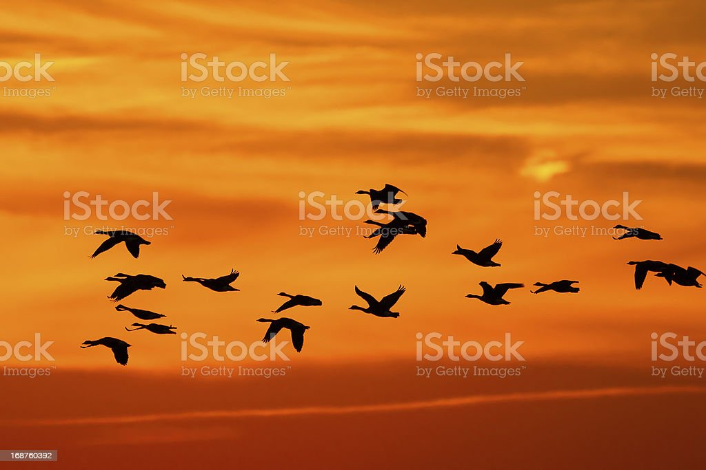 Canada Geese (Branta canadensis) Migrating stock photo