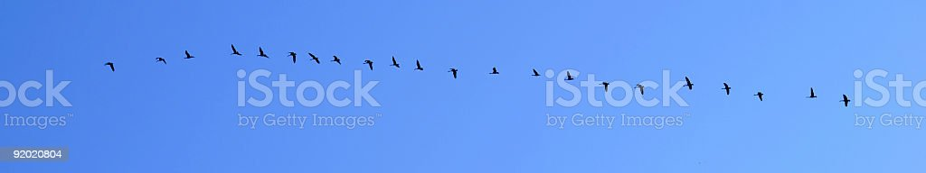 Canada Geese migrating South royalty-free stock photo
