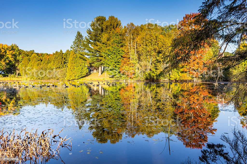 Canada geese on a pond at fall stock photo