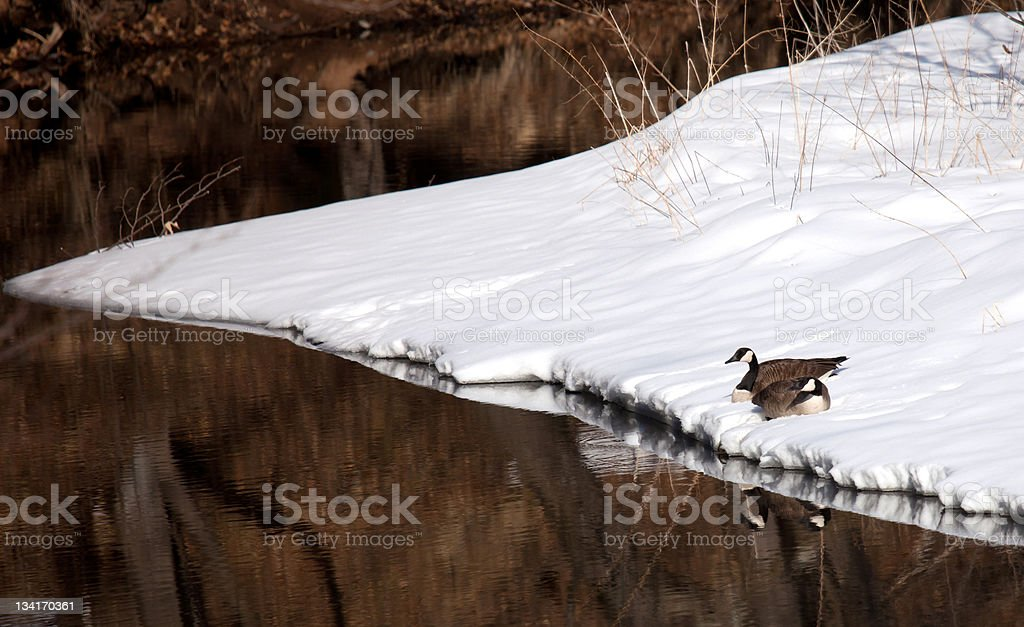 Canada geese pair at waters edge stock photo
