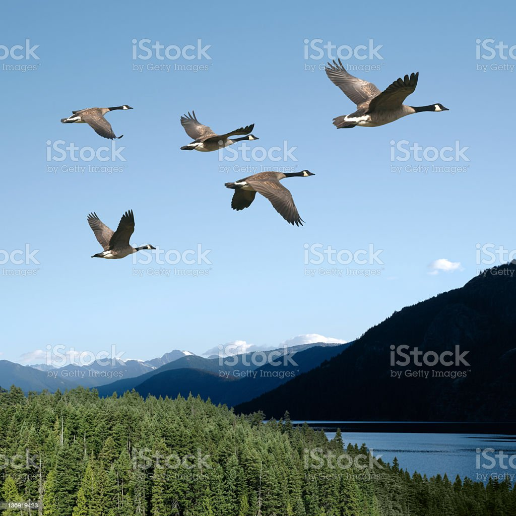 XXL canada geese stock photo