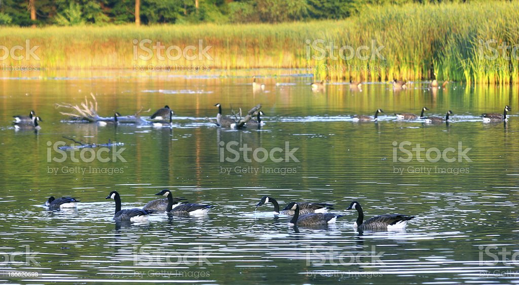 Canada Geese royalty-free stock photo