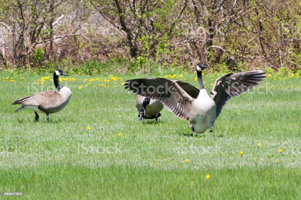 3 Canada geese stock photo