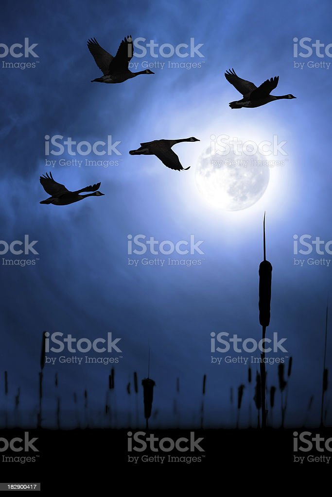 canada geese silhouette stock photo
