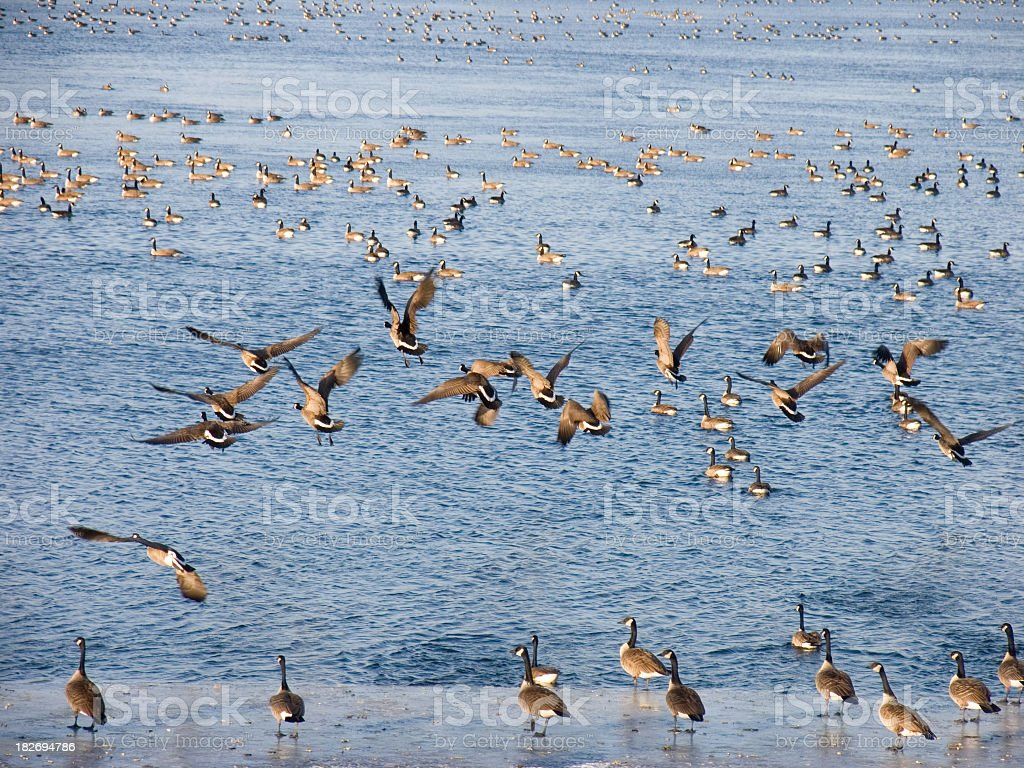 Canada geese taking off royalty-free stock photo