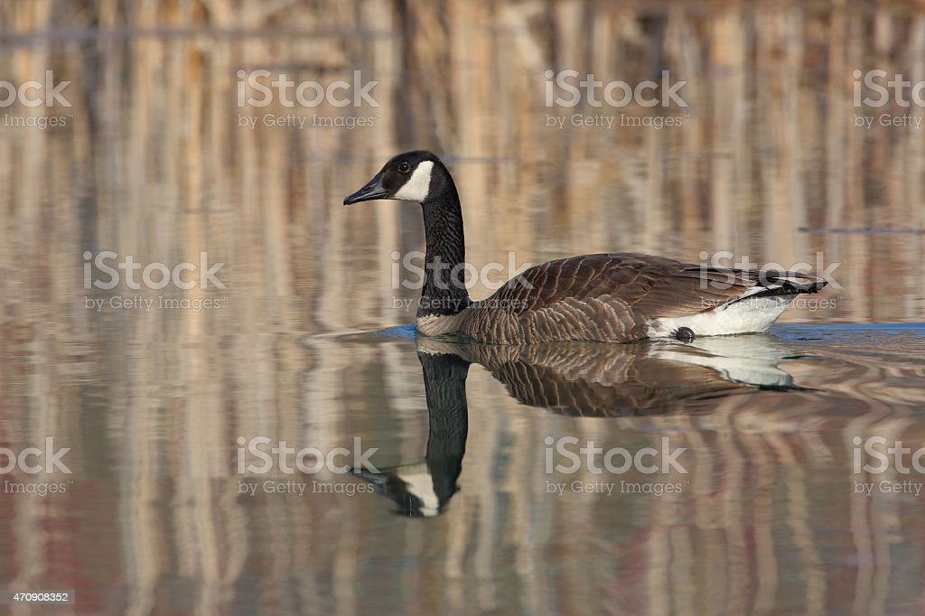 Canada Goose and Reflection on a Small Pond - Ontario stock photo