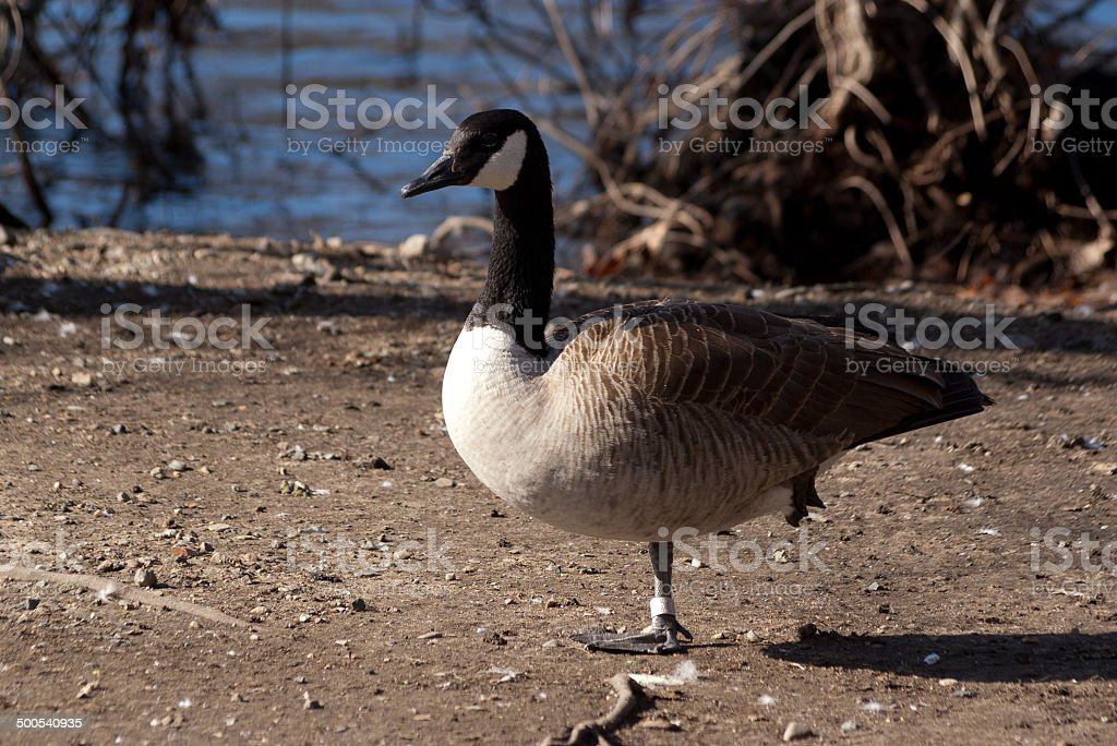 Canada Goose at rest stock photo