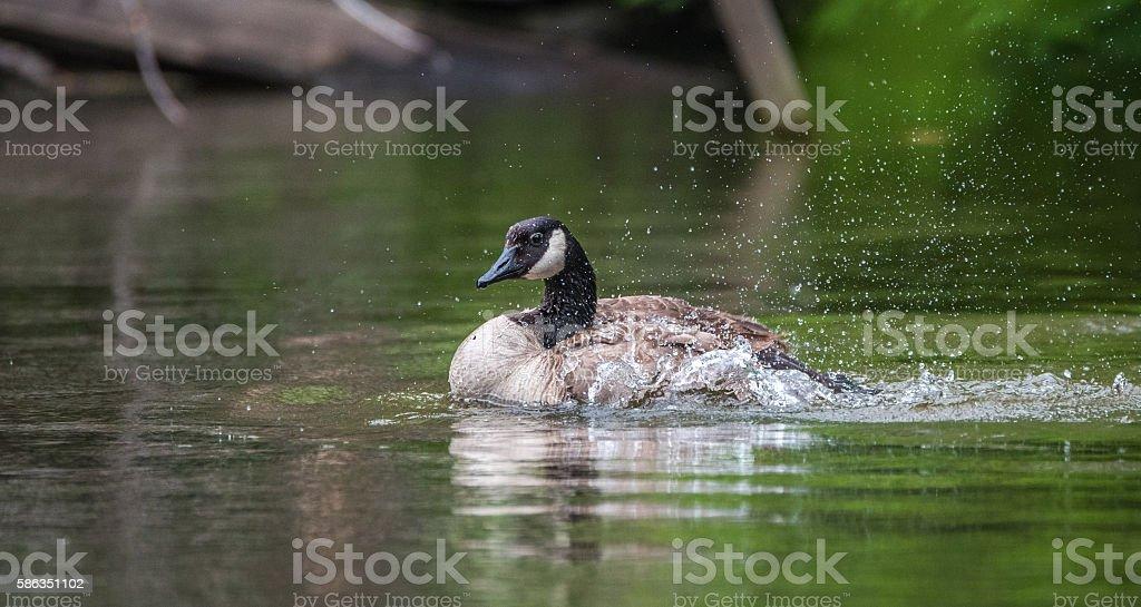 Canada Goose bathes with vigor in the Ottawa River. stock photo