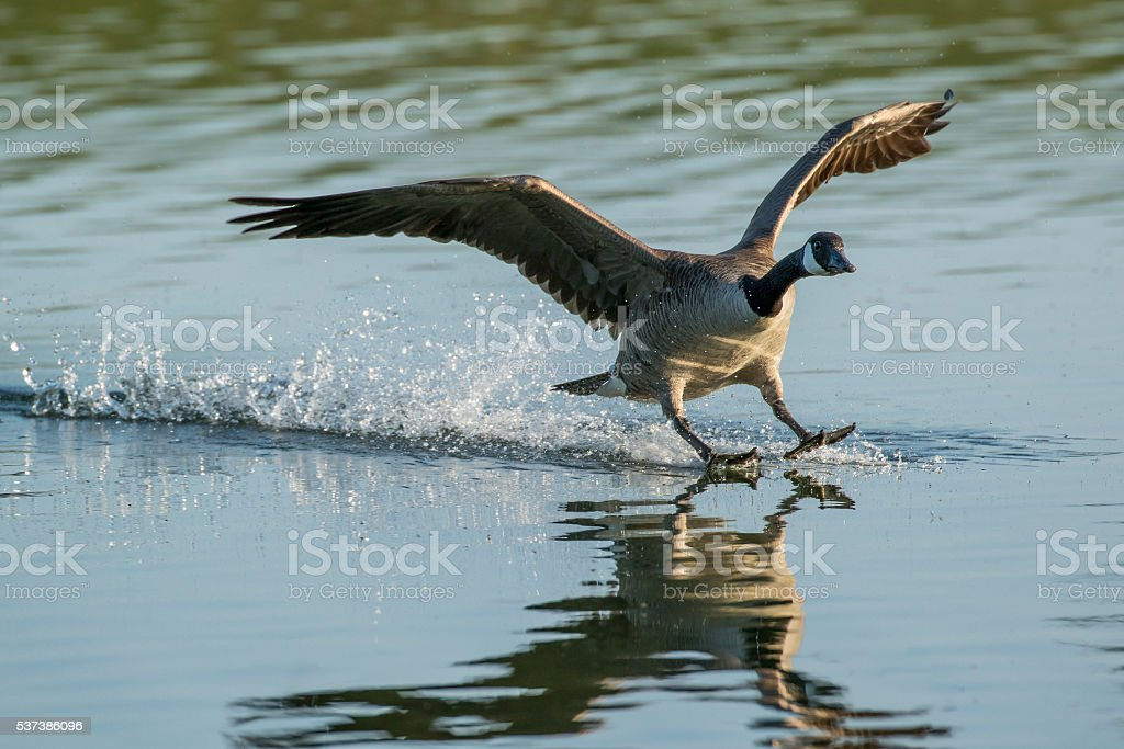 Canada Goose - Branta canadensis stock photo