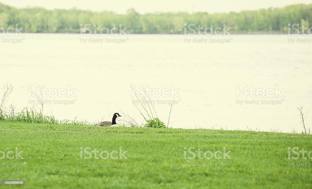 Canada Goose by river stock photo
