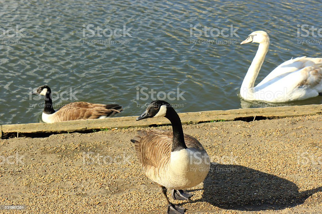 Canada Goose by the River Great Ouse stock photo