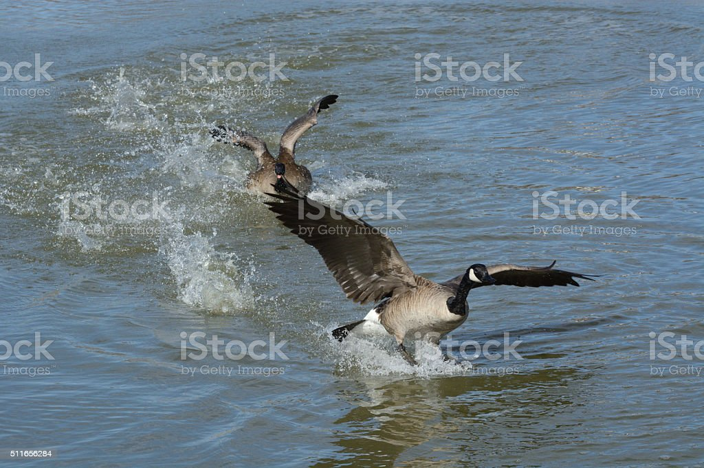 Canada goose chasing another stock photo