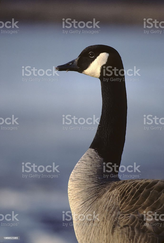 canada goose, close-up royalty-free stock photo